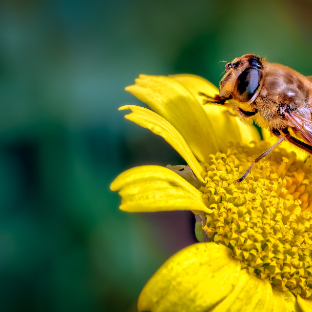 """Drone-Fly, Eristalis tenax a bee mimic on Daisy Like Flower Cleaning its..."" stock image"