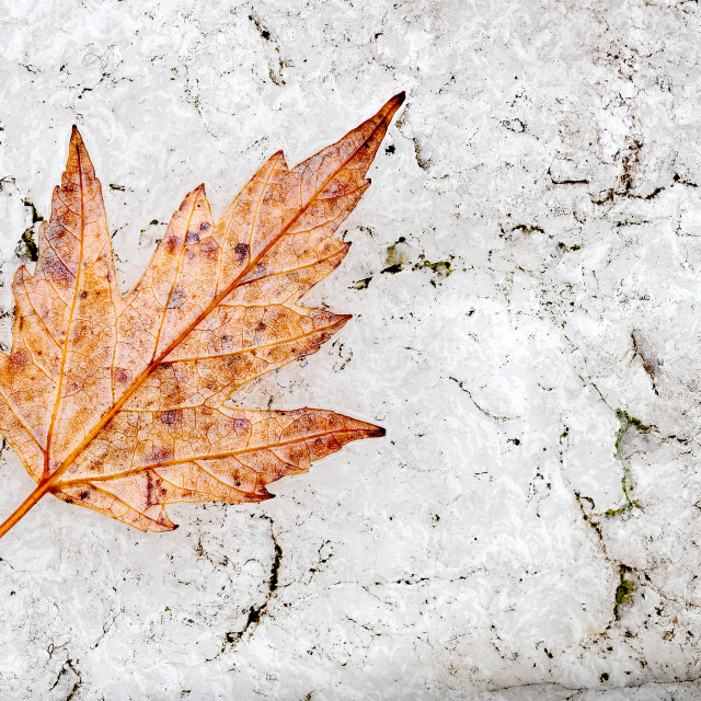 """Leaf Abstract of Atumnal Acer Leaf on White Quatz Stone"" stock image"