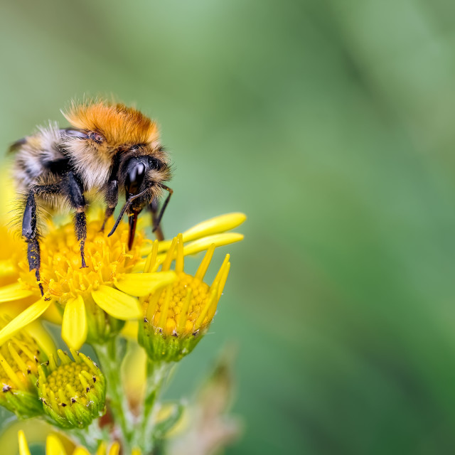 """Male Carder Bumblebee, Bombus pascuorum feeding on Ragwort."" stock image"