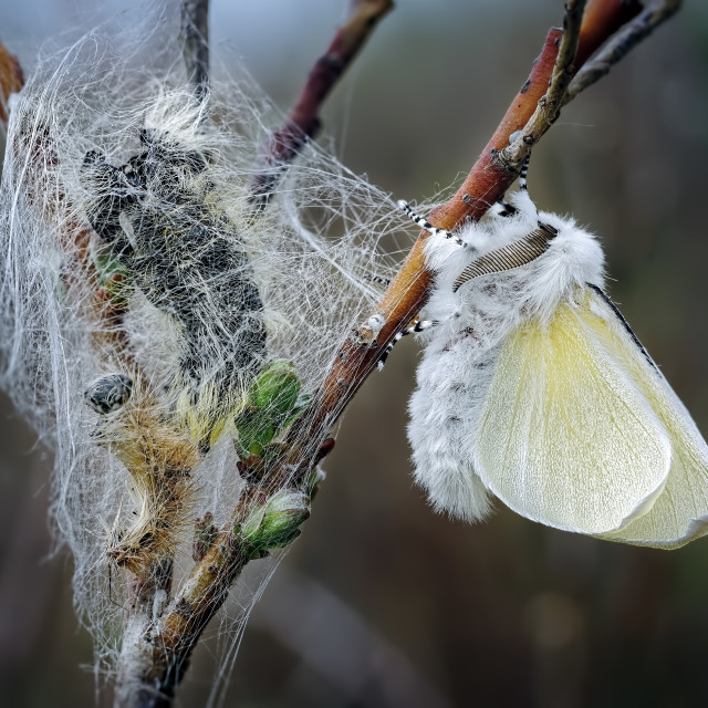 """Male White Satin Moth Freshly Emerged form its Pupal case, left."" stock image"