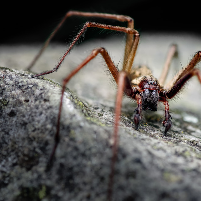 """Male, Giant House Spider, Eratigena atrica. Formerly Tegenaria gigantea."" stock image"