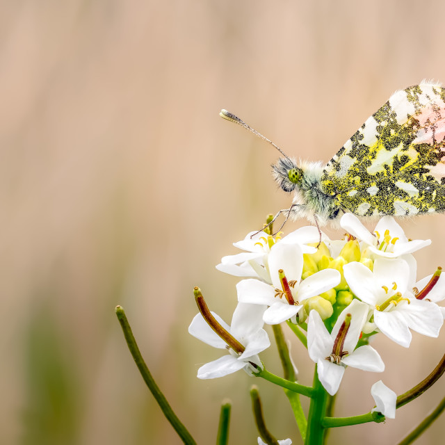 """Orange tip Butterfly Resting on Cuckoo Flower"" stock image"