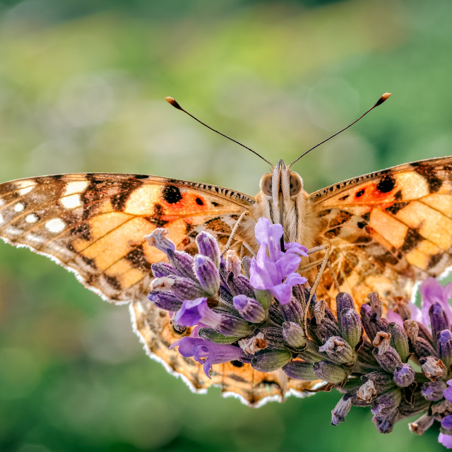 """Painted Lady Butterfly, Vanessa cardui on Lavender."" stock image"