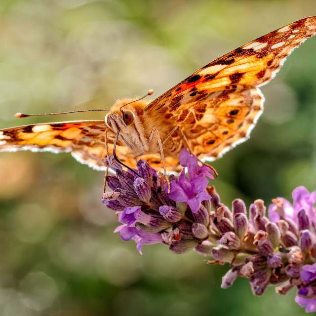 """Painted Lady Butterfly, Vanessa cardui on Lavender_2."" stock image"