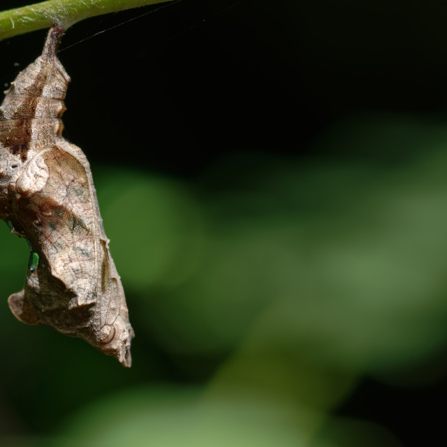 """Pupa of the Comma Butterfly, Polygonia c-album."" stock image"