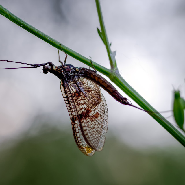 """Silhouette of a Mayfly by the River Thames, in the Chiltern Valley"" stock image"