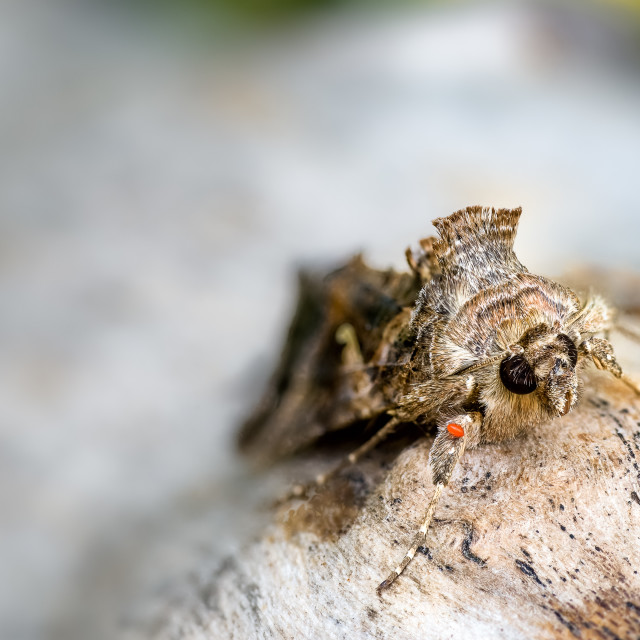 """Silver Y Moth, Autographa gamma and Mite"" stock image"