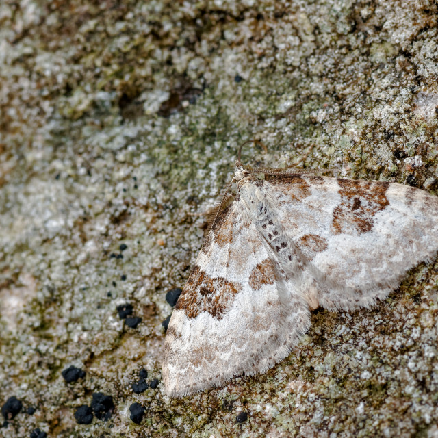 """Silver-ground Carpet Moth, Xanthorhoe montanata Camouflaged against..."" stock image"