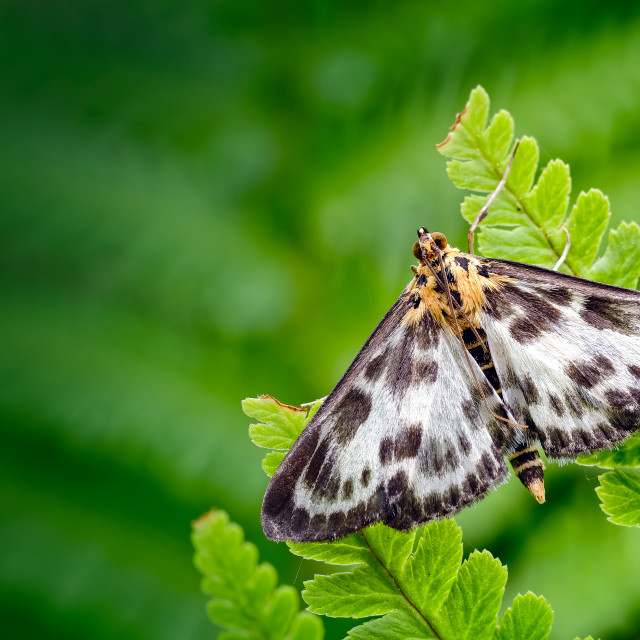 """Small Magpie Moth, Anania hortulata Resting amongst a sea of Green Fern Leaves"" stock image"