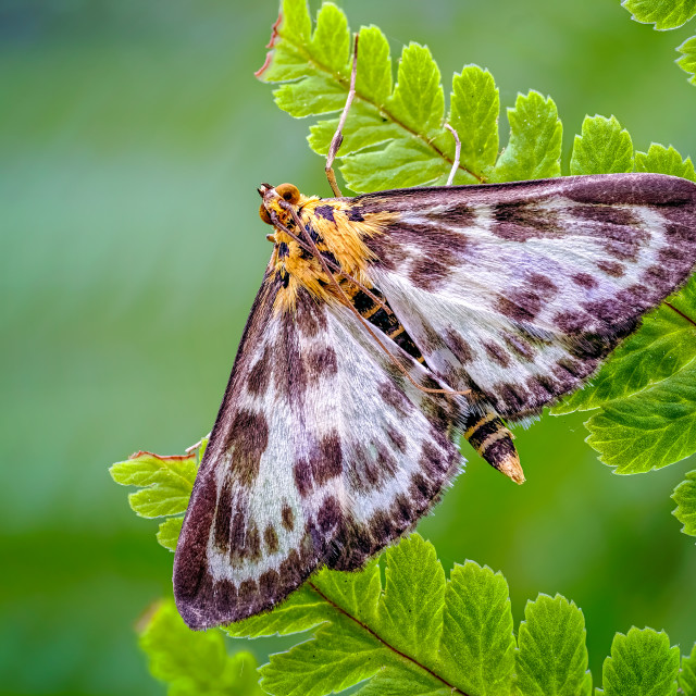 """Small Magpie Moth, Anania hortulata Resting amongst a sea of Green Fern Leaves_2"" stock image"