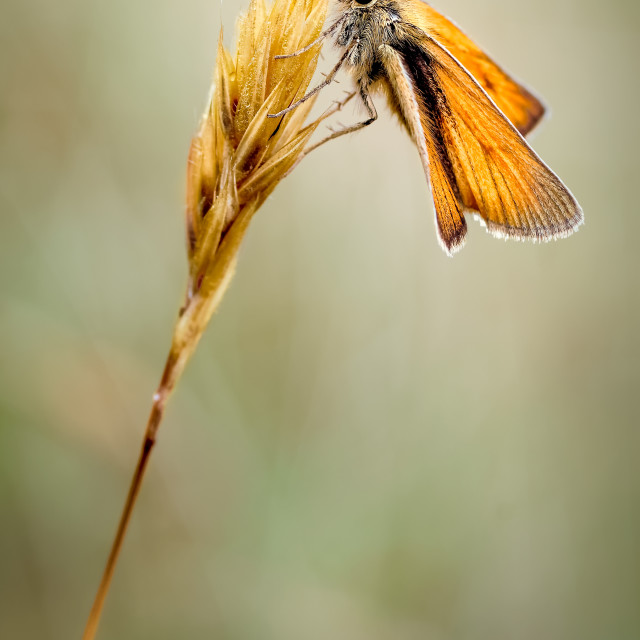 """Small Skipper Butterfly, Thymelicus sylvestris resting on a Grass Head..."" stock image"