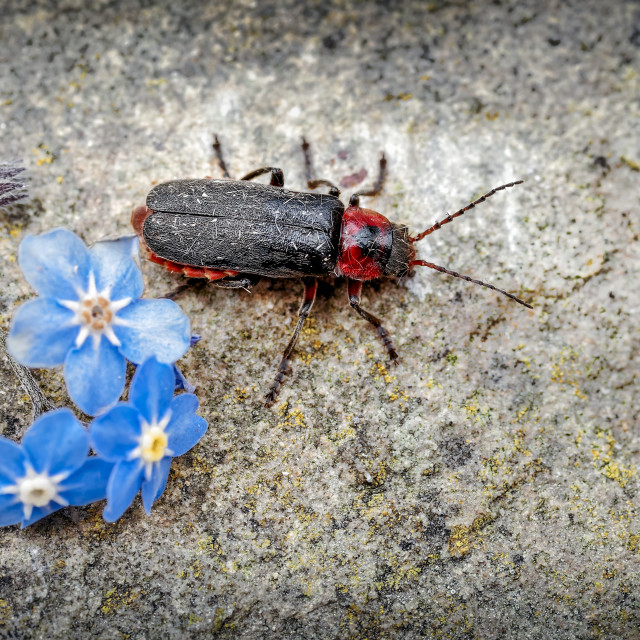 """Soldier Beetle, Cantharis rustica Emerging from Forget-me-not Flower on to a..."" stock image"