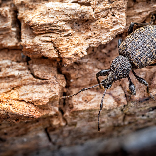 """Vine Weevil on Rotten Log_Otiorhynchus sulcatus."" stock image"