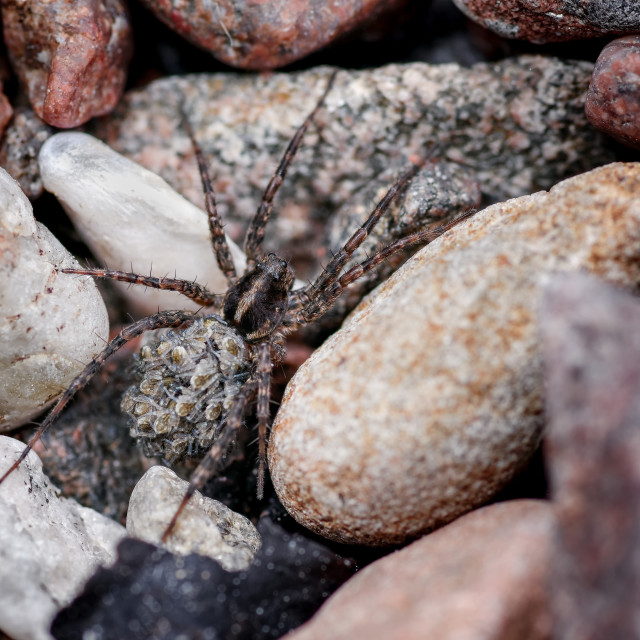 """Wolf Spider, Lycosidae Carrying Young Spiderlings on Her Back Through Stony..."" stock image"