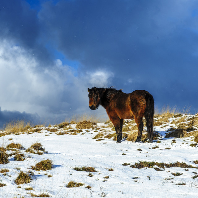 """Dartmoor Pony in Snow"" stock image"