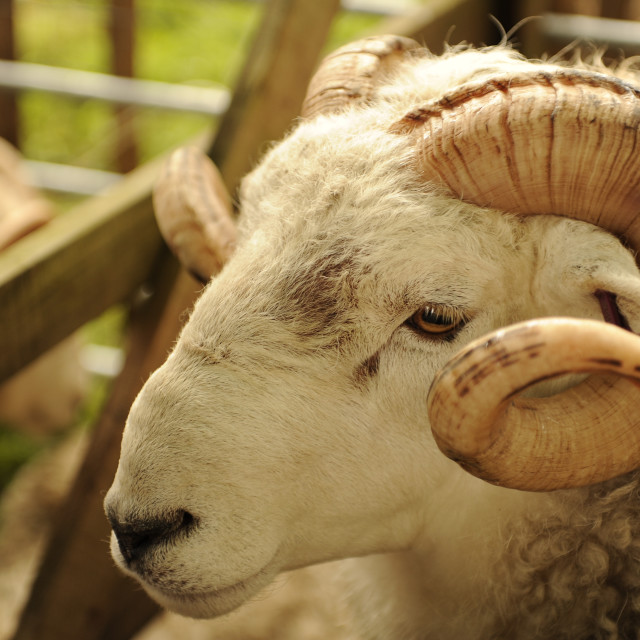 """Close-up of a Dartmoor Whiteface Ram"" stock image"