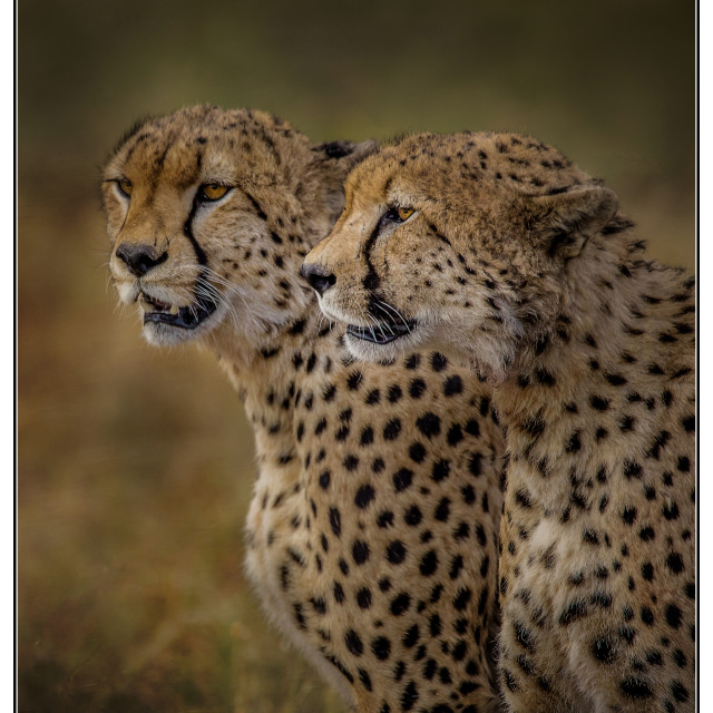 """Male Cheetahs"" stock image"