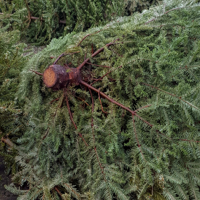 """""""Discarded Christmas Trees"""" stock image"""