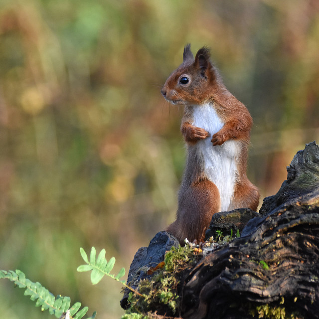 """Red Squirrel - on the look out"" stock image"
