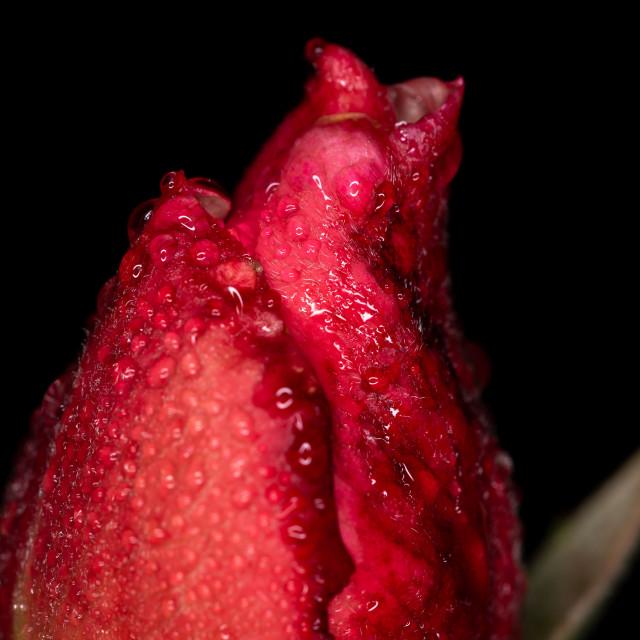 """""""Dark Pink Rose Bud"""" stock image"""