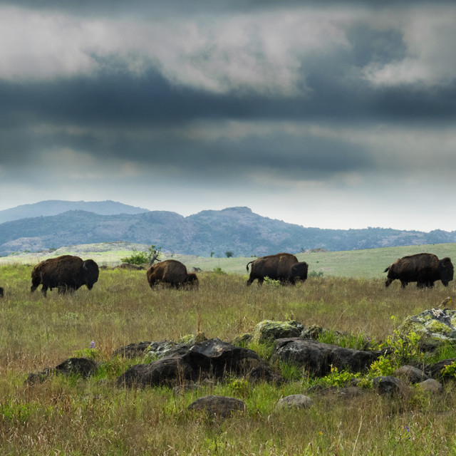 """""""Bison in a Row"""" stock image"""
