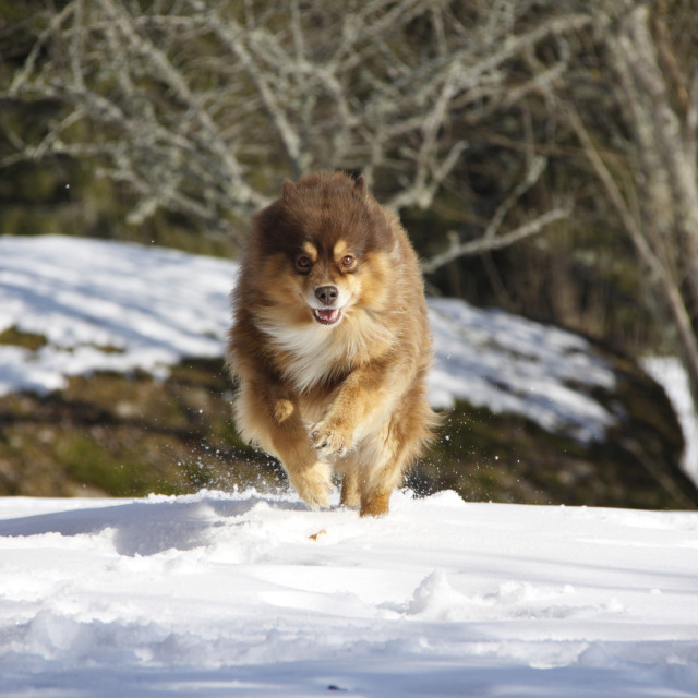 """Finnish lapphund rushing"" stock image"