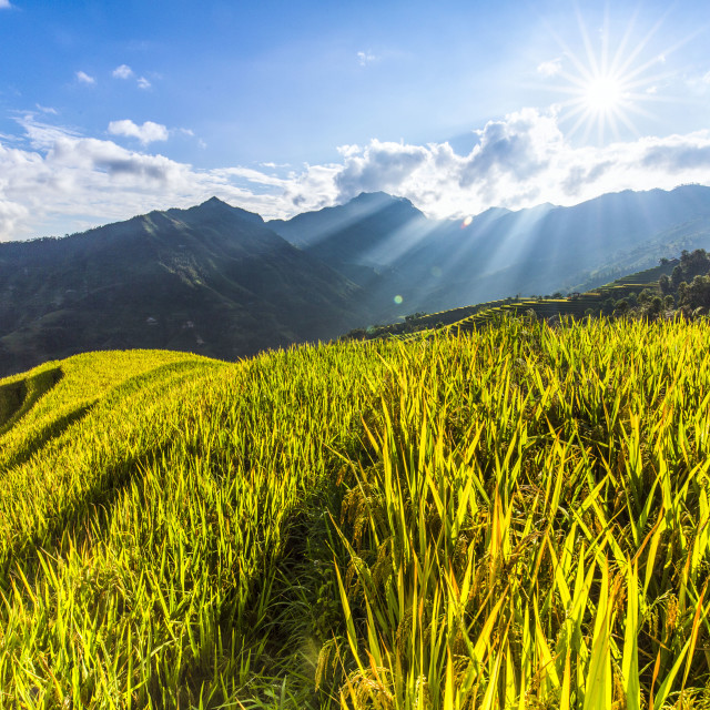 """Golden rice field or paddy field with blue sky and cloud"" stock image"