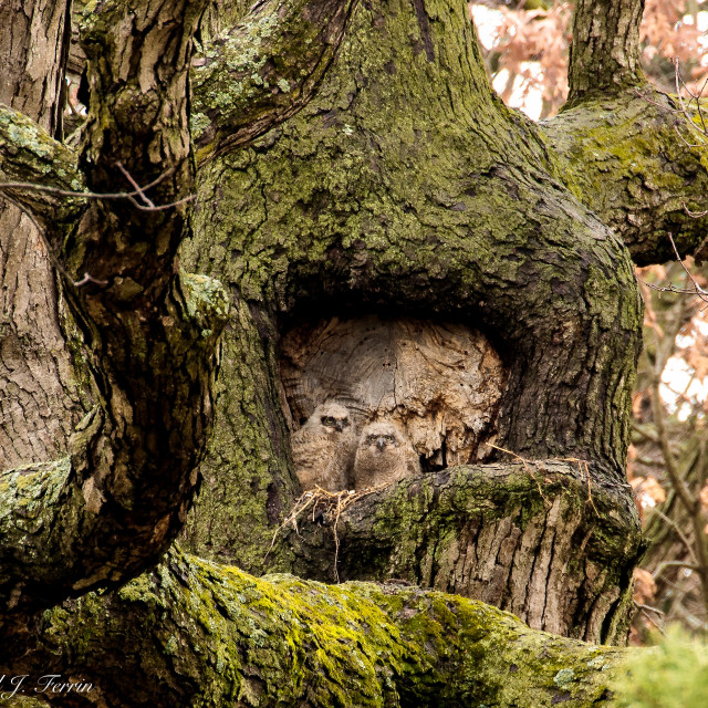 """""""Great Horned Owl babies"""" stock image"""