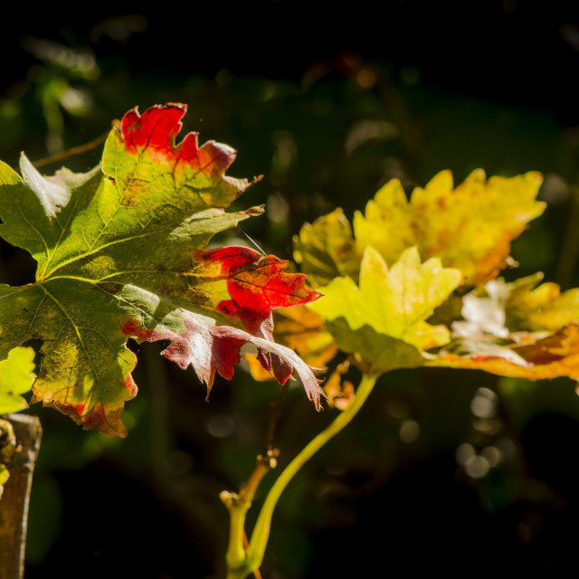 """""""Close-up of a colourful grape leaf hanging from the vine in autumn"""" stock image"""