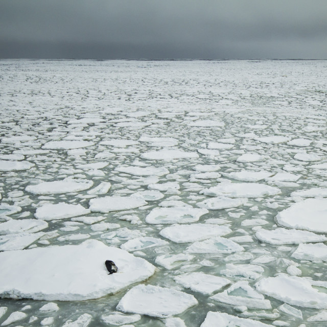 """""""Seal and ice floes"""" stock image"""