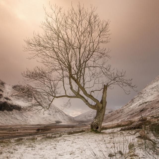 """""""Tree of the Ridge"""" stock image"""