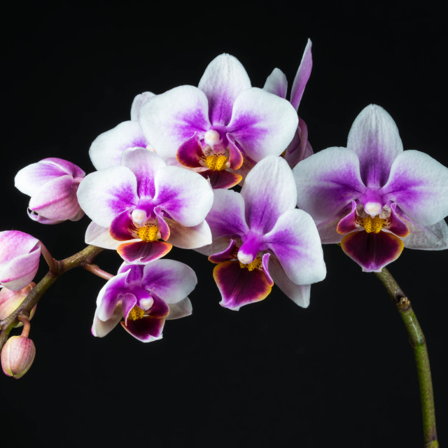 """""""orchid"""" stock image"""