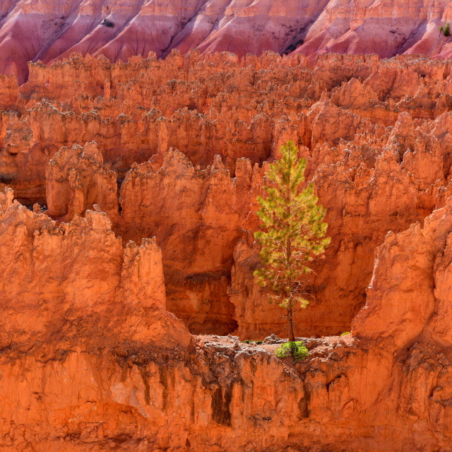 """A lone tree on top of ridges in Bryce Canyon National Park"" stock image"