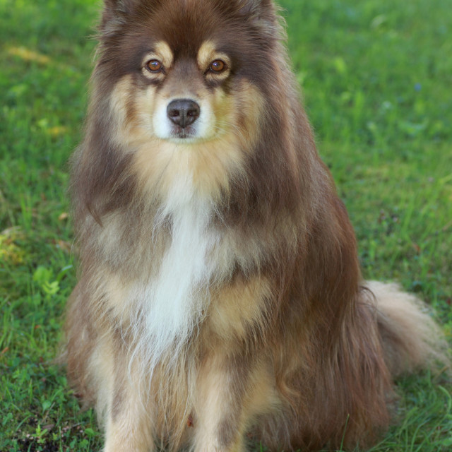 """Portrait of a Finnish lapphund"" stock image"