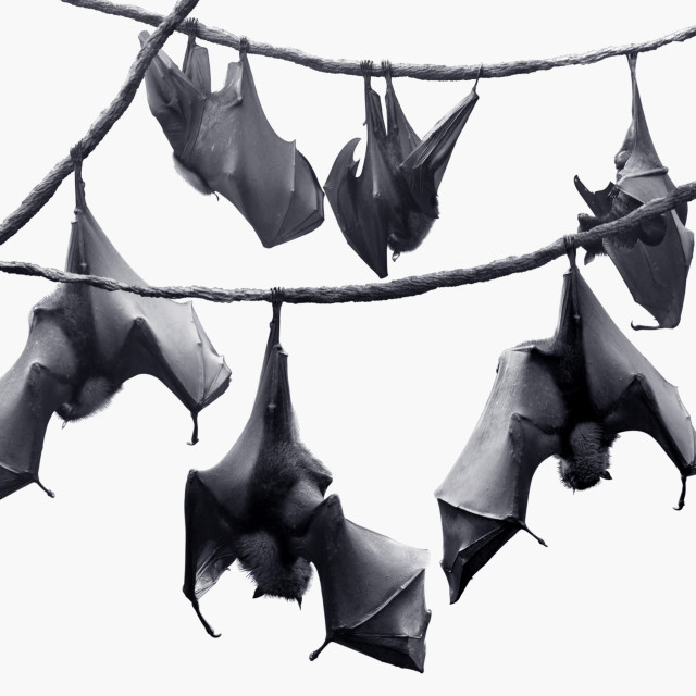 """Colony of bats hanging on vines"" stock image"
