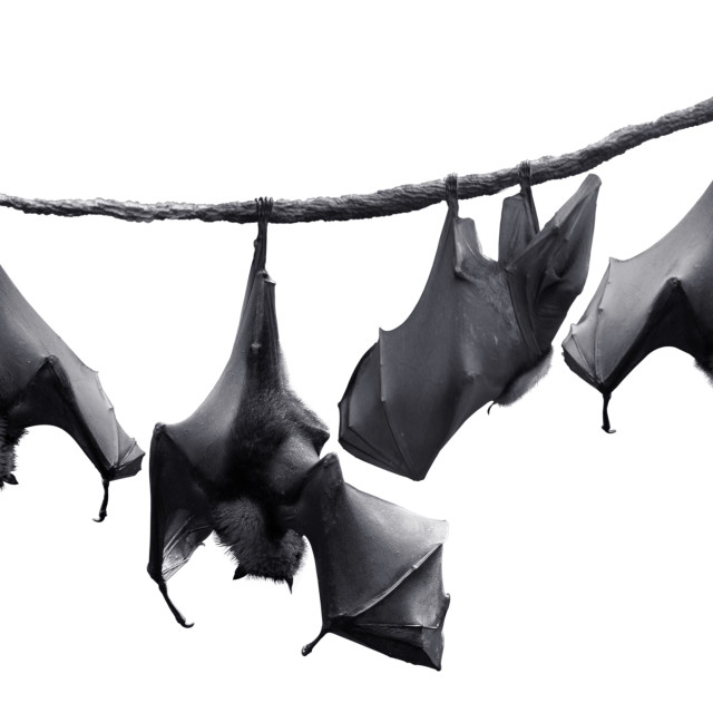 """""""Colony of bats hanging on vines"""" stock image"""