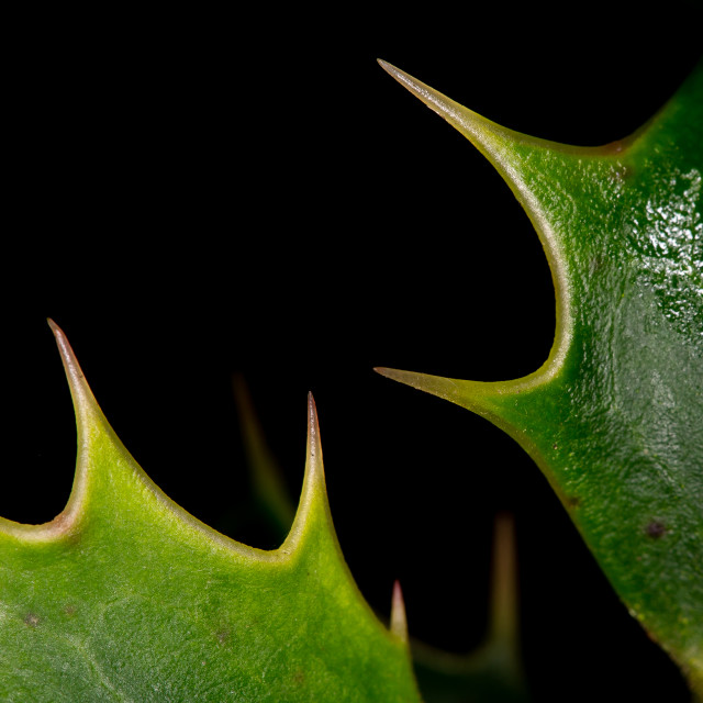 """Holly Spikes"" stock image"