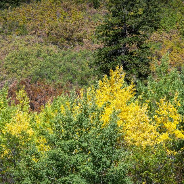 """Beautiful autumn/fall blossom near Aspen, Colorado"" stock image"