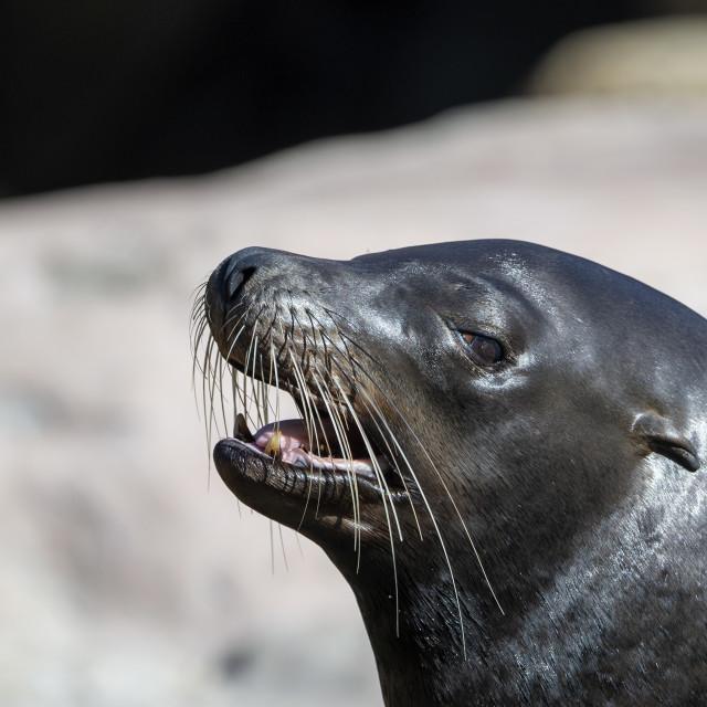 """Sea lion (head shot)"" stock image"
