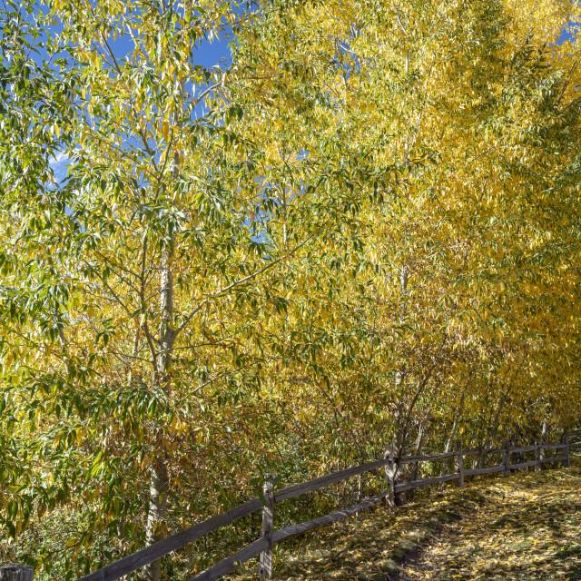 """Flowering aspen trees in Colorado"" stock image"