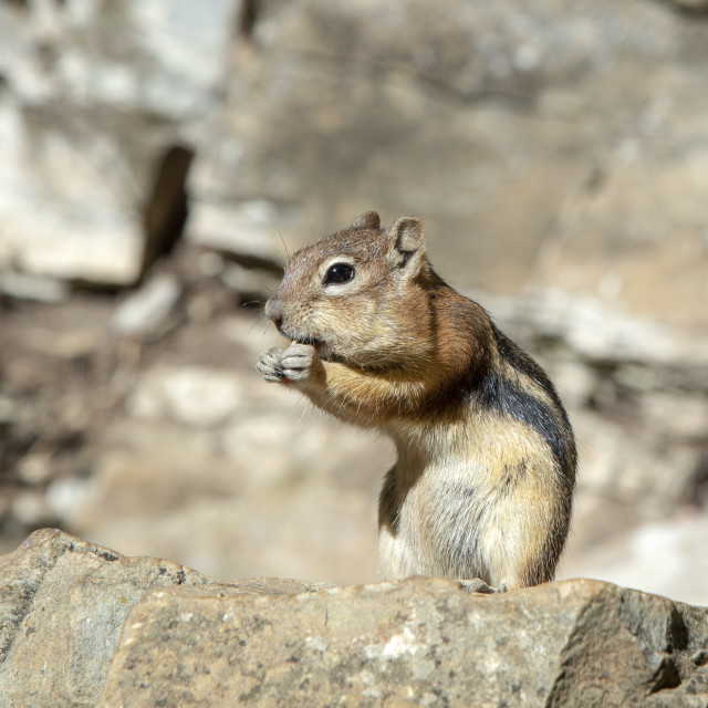 """""""North American chipmunk on a rock"""" stock image"""