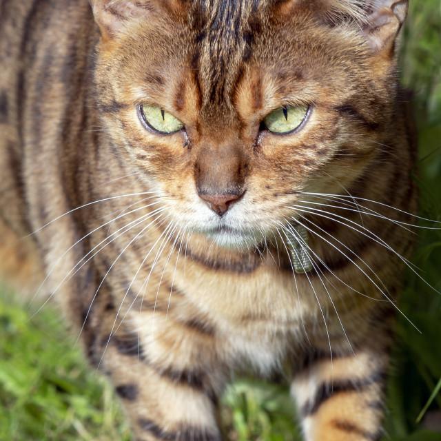 """Female Bengal cross cat looking towards camera"" stock image"