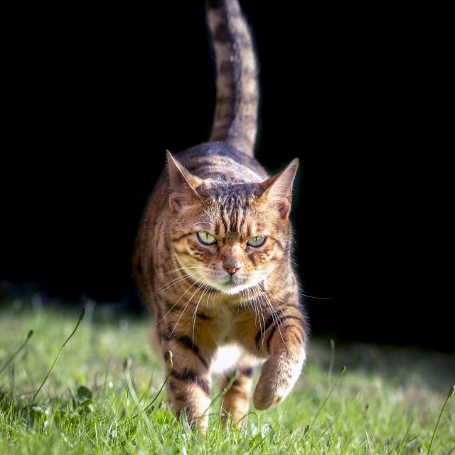 """Bengal cross cat walking towards camera with tail up"" stock image"