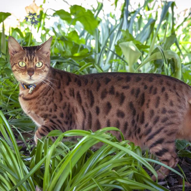"""Female Bengal cross cat in undergrowth"" stock image"