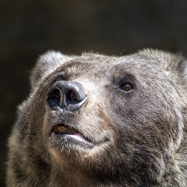 """""""Grizzly bear (face shot)"""" stock image"""
