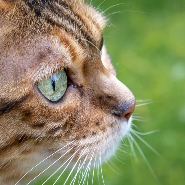 """Female Bengal cross cat (profile)"" stock image"