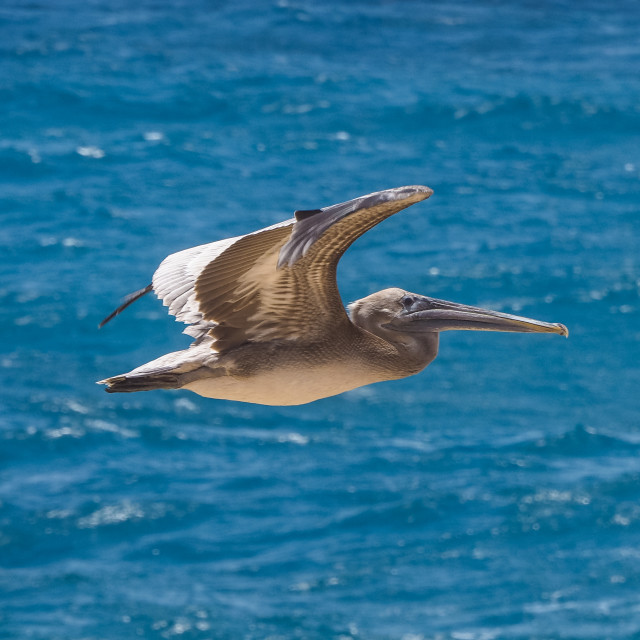 """Grand gosier (brown pelican) flying over sea"" stock image"