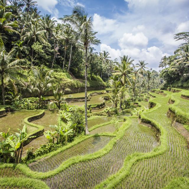 """Tegalalang rice terraces near Ubud, Bali"" stock image"