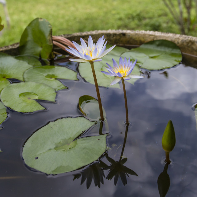 """""""Tropical water lilies"""" stock image"""
