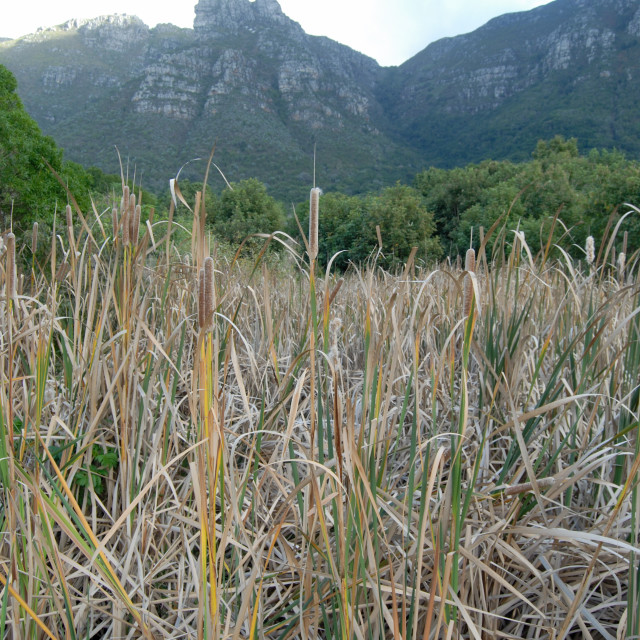 """""""Cape Town South Africa Kirstenbosch Botanical Gardens: Reed beds."""" stock image"""
